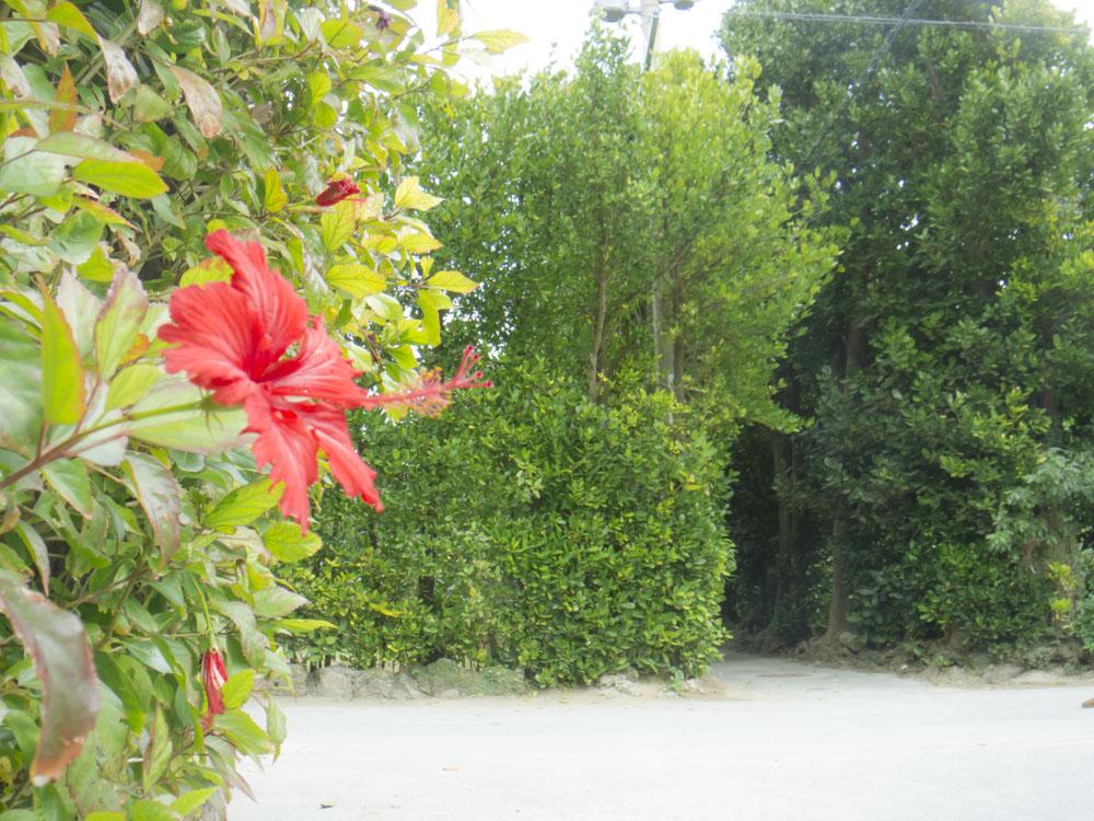 フクギ並木の花