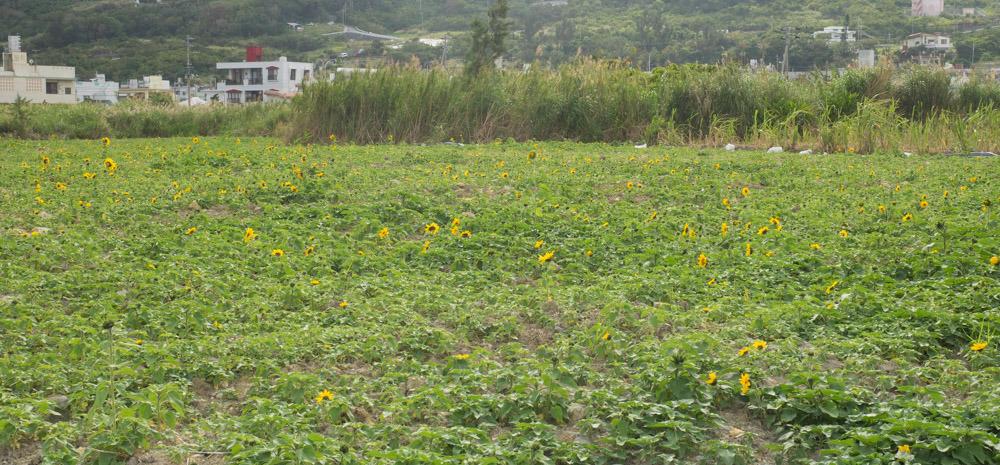 ひまわり畑の様子