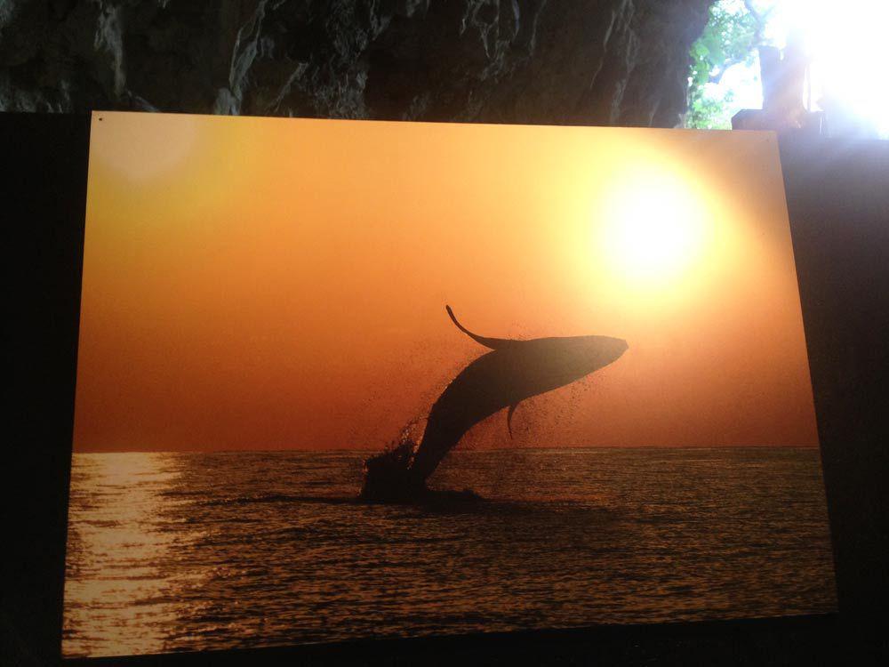 ザトウクジラ