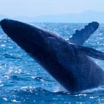 沖縄の冬の楽しみ方「ホエールウォッチング」- クジラは本当にみえるのか?