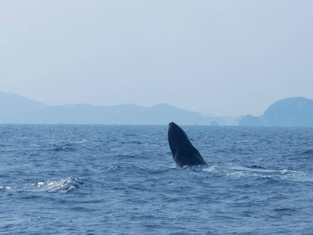 クジラが顔を出す