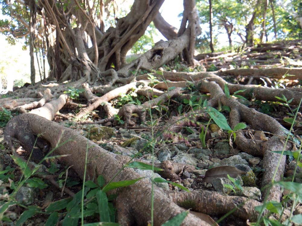 玉陵(たまうどぅん)前の木