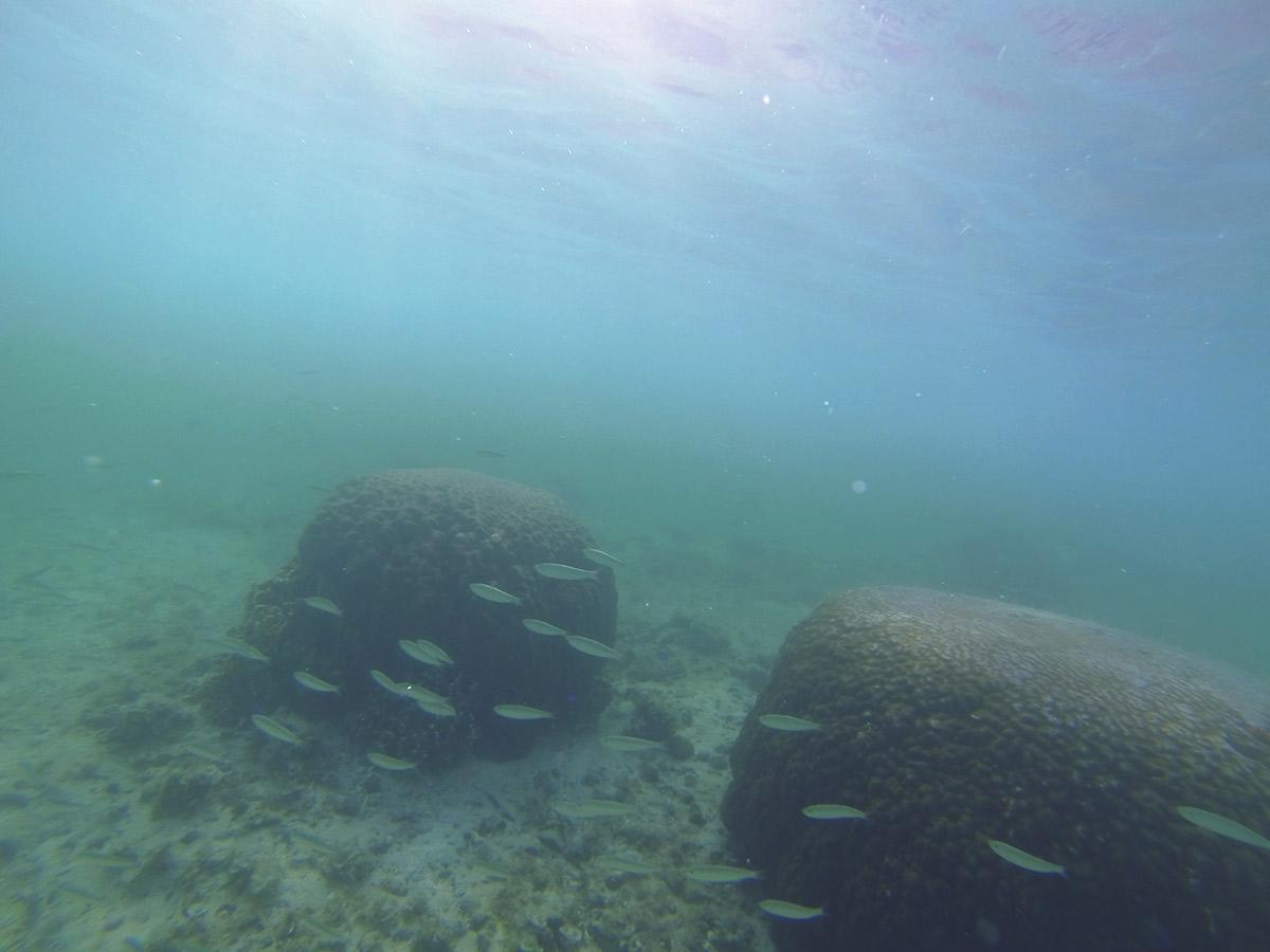 丸いサンゴの周りにも魚が多い