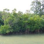 宮古島で最も広いマングローブの自生地「島尻マングローブ林」