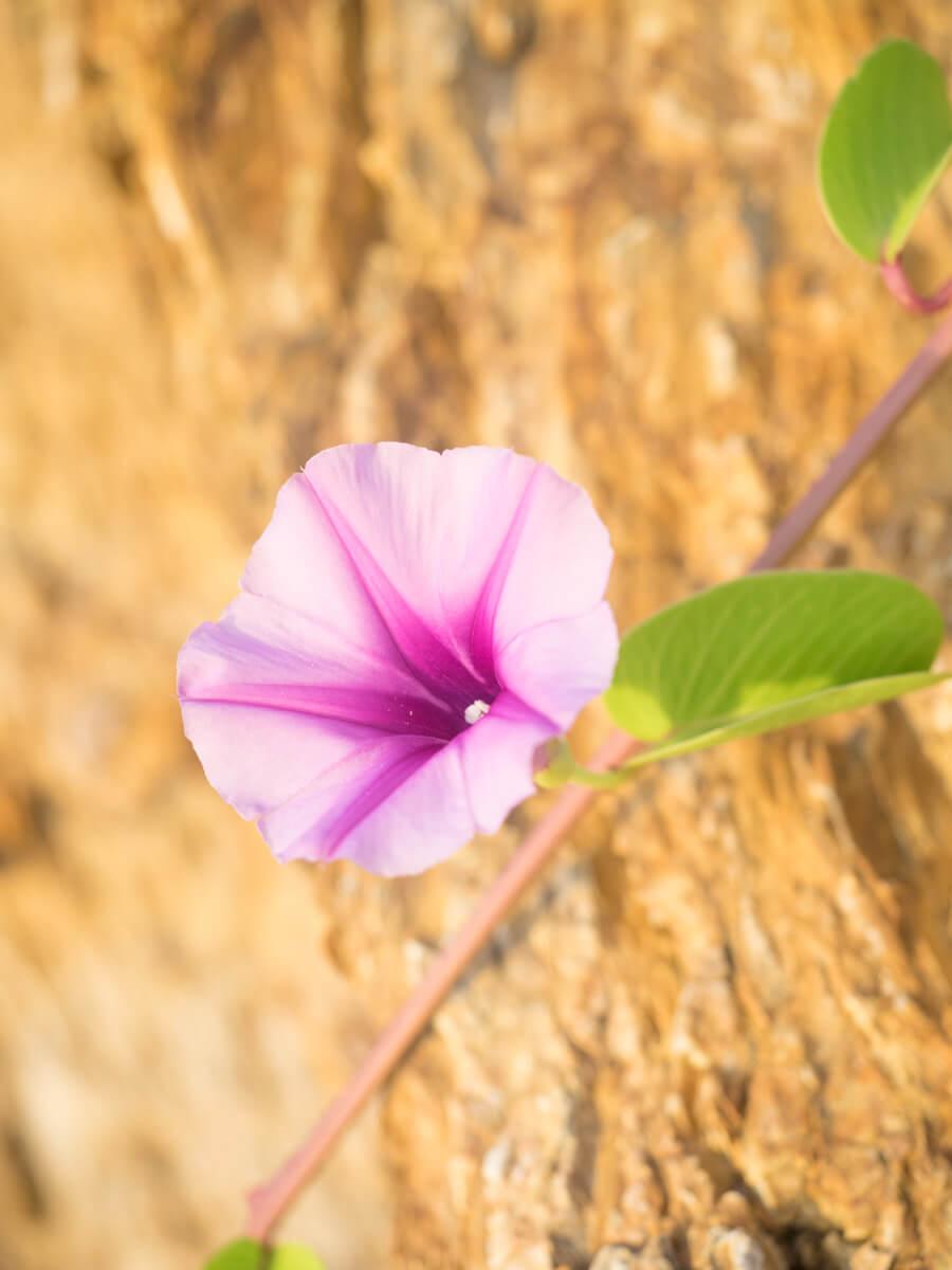 ハマヒルガオが咲いている