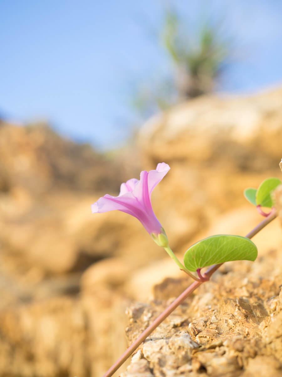 赤土の上で咲くハマヒルガオ