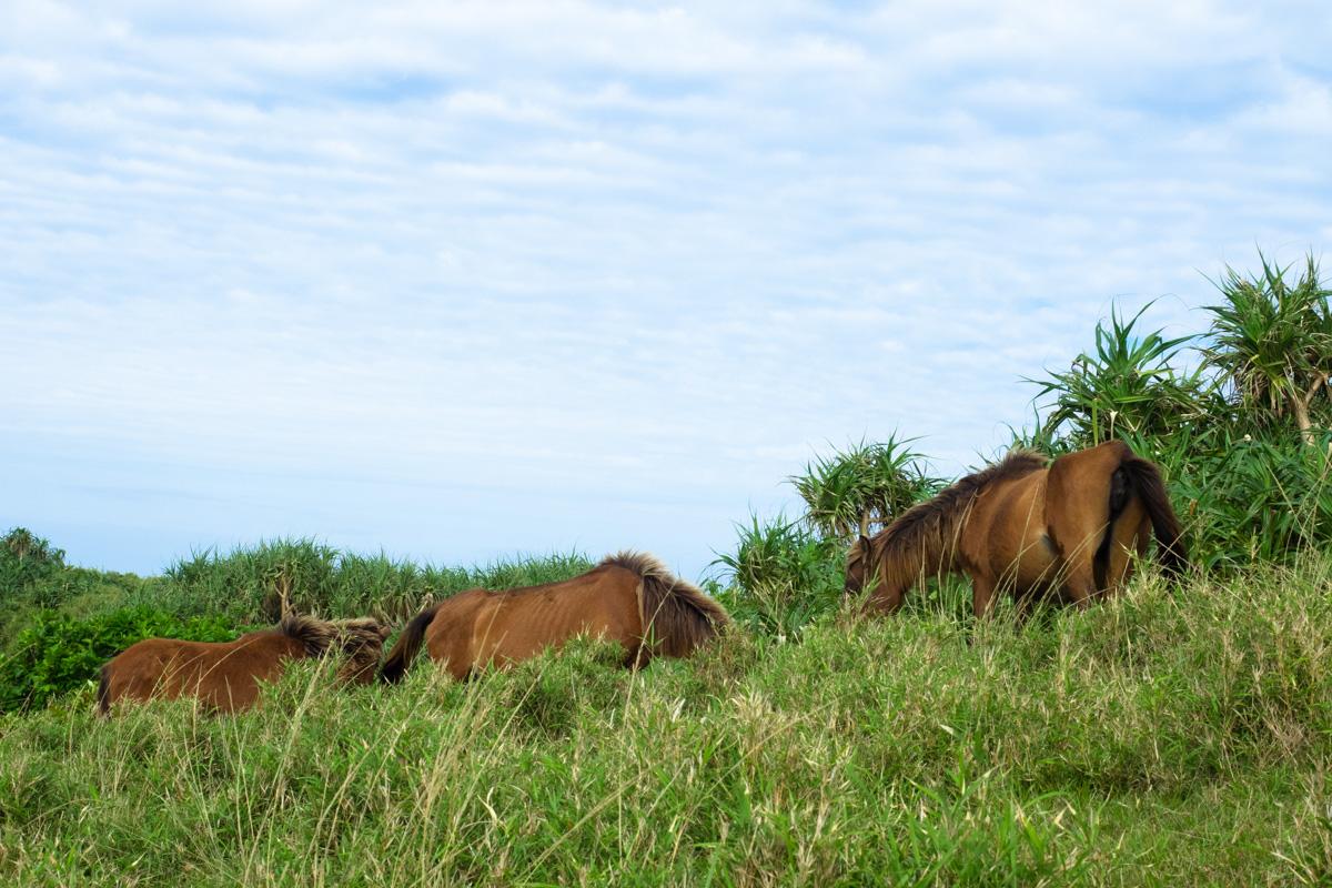 茶色の与那国馬