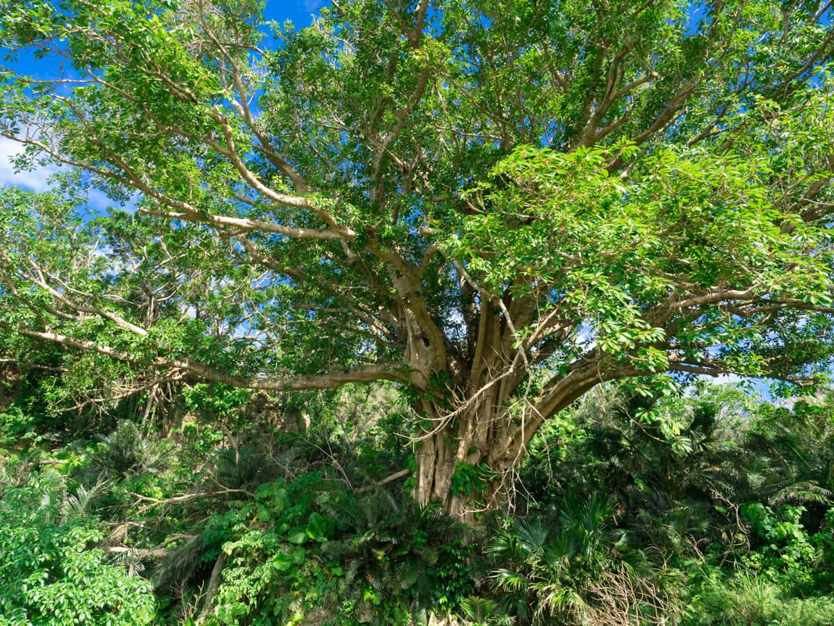 与那国一の巨木