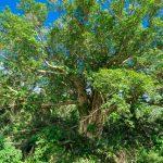 与那国島でもっとも大きな木。ドウナンダギイヌアグ(オオバアコウの木)に寄り道