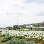 伊江島に咲き誇る100万のテッポウユリは壮観。「伊江島ゆり祭り」へ行ってみました